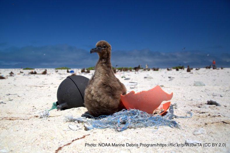 マイクロプラスチックと海鳥